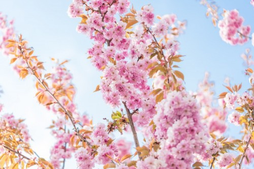 blossoms-of-cherry-tree-in-the-spring-picjumbo-com